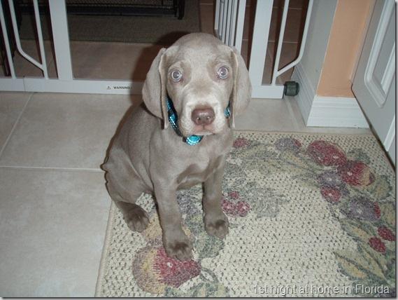 Ginger puppy 8 weeks old