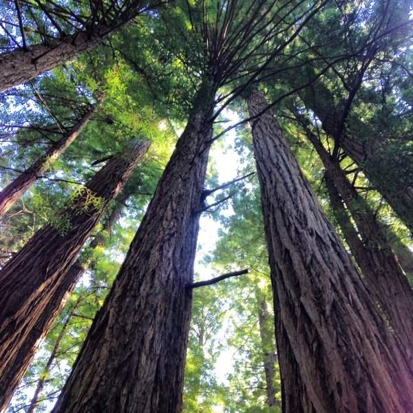 Muir Woods | runningtothekitchen.com