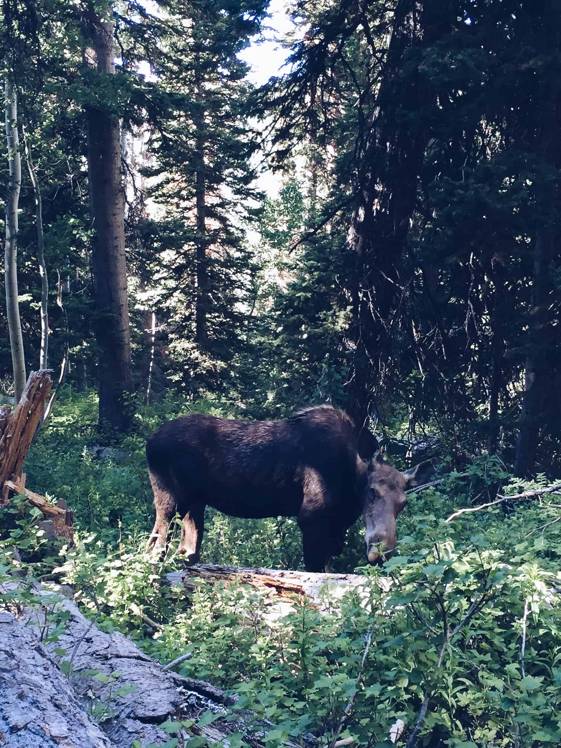 A moose on the trail at Solitude Mountain
