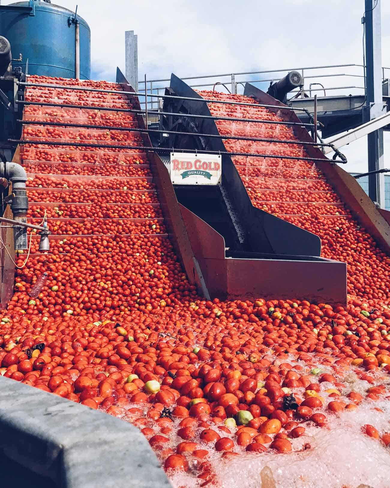 Processing tomatoes at Tuttorosso factory