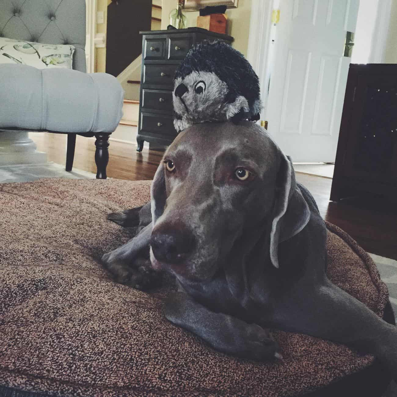 Weimaraner and her toy hedgehog