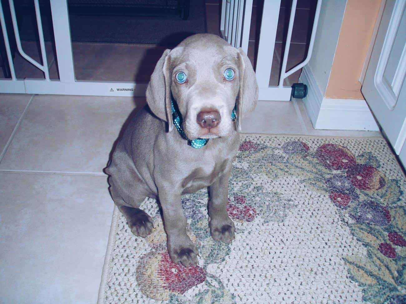 Weimaraner puppy 8 weeks old
