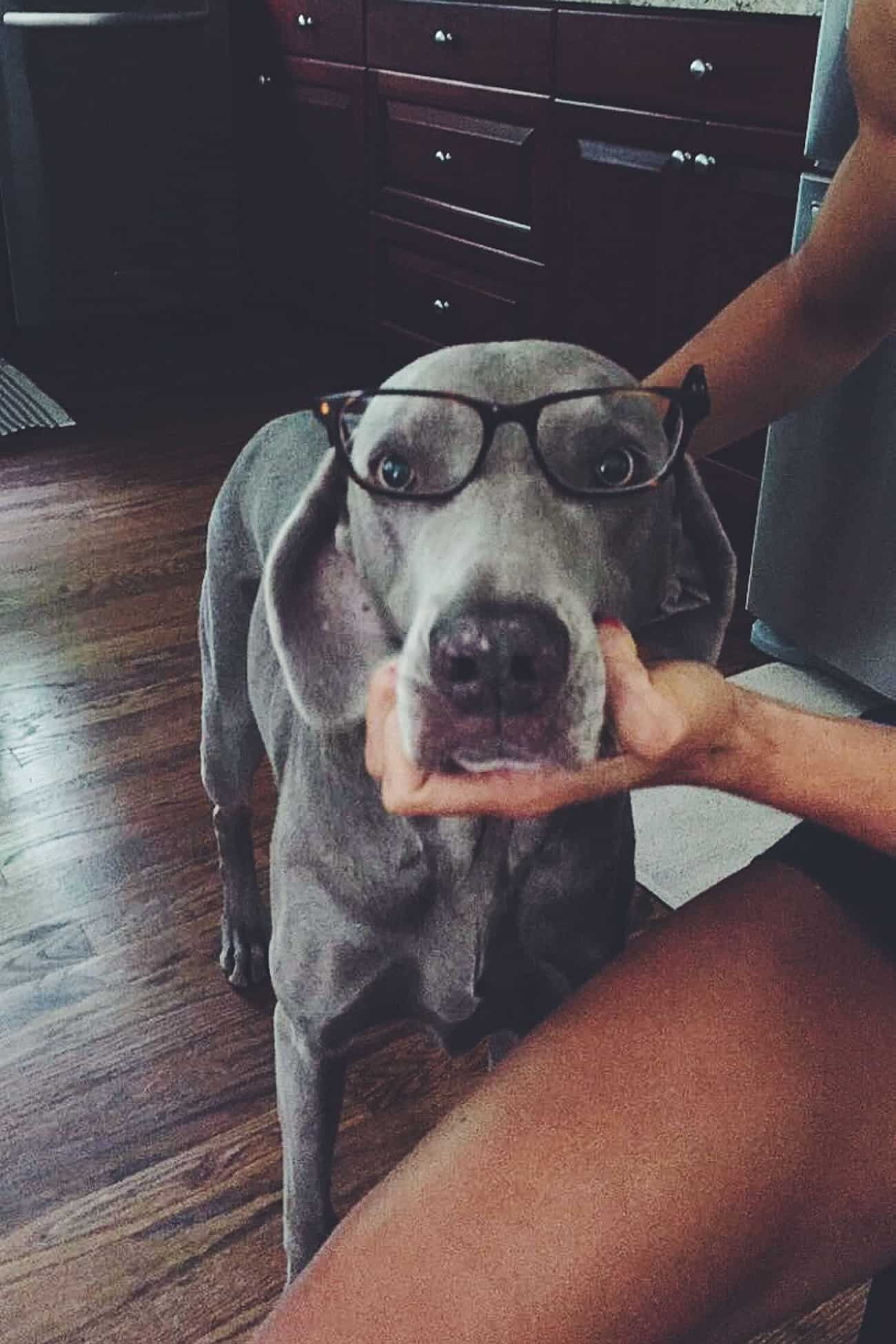 Weimaraner with glasses on