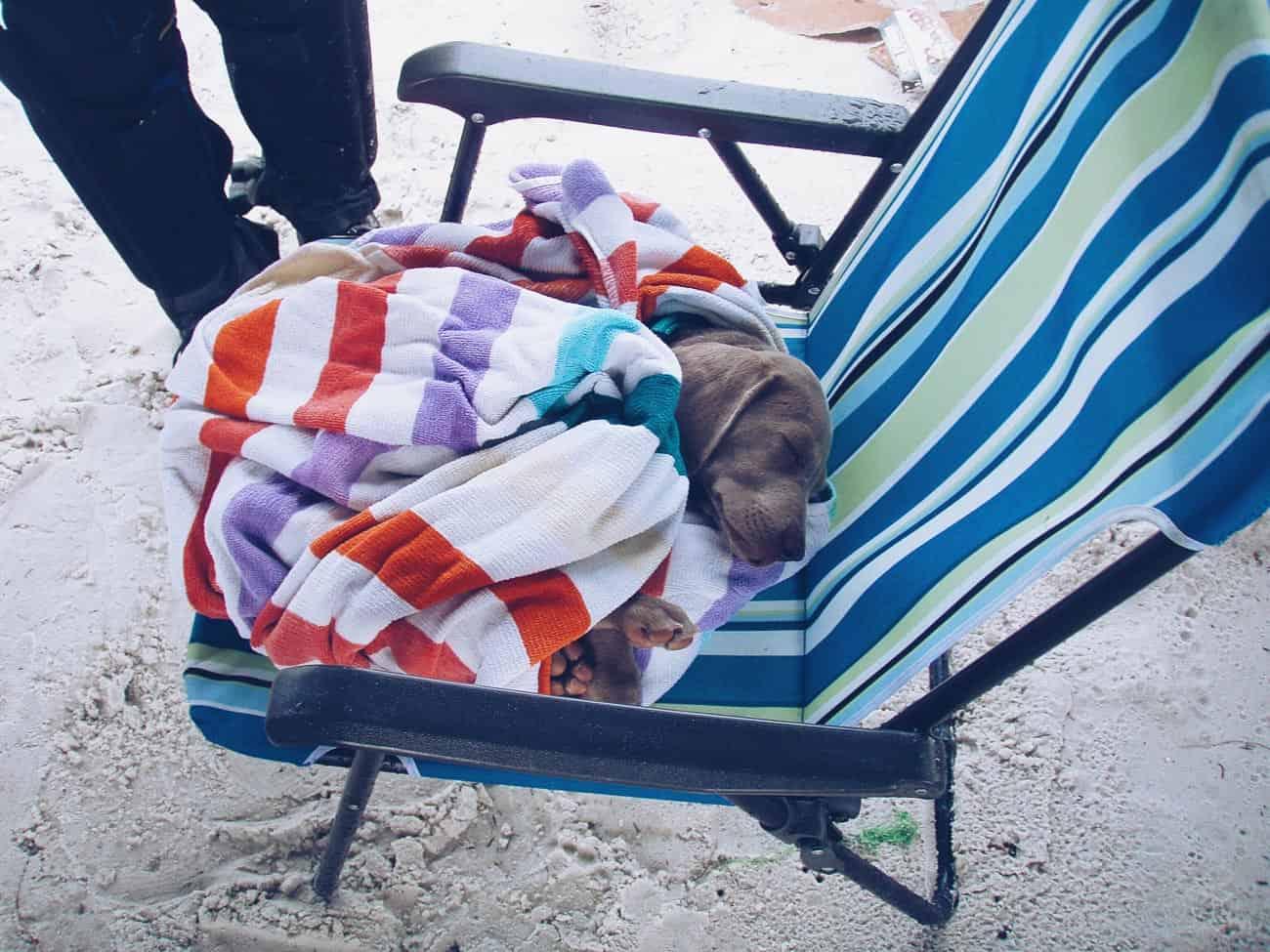 Weimaraner puppy at 10 weeks old at beach in St. Petersburg, FL