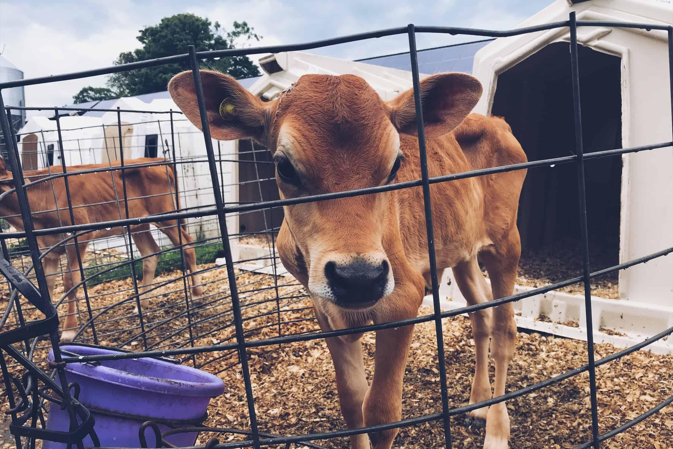 Calf at Richardson Farm in Woodstock, VT