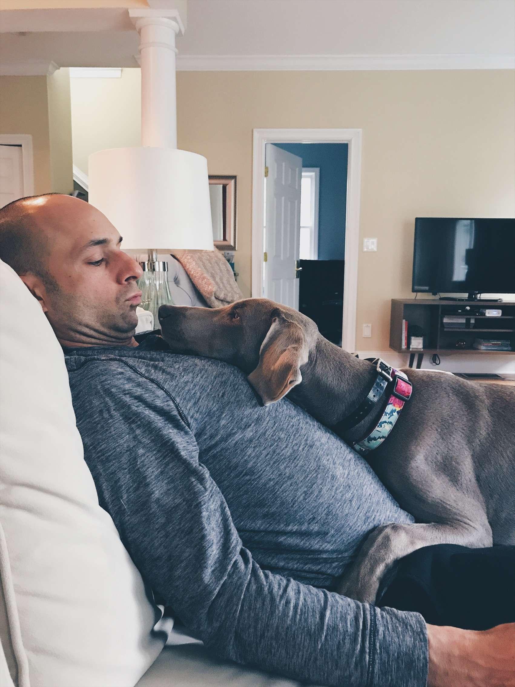 Weimaraner puppy - lap dog