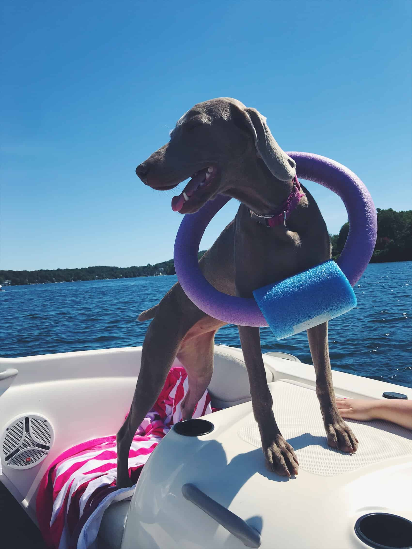 Lake Mahopac, NY and Weimaraner puppy on boat