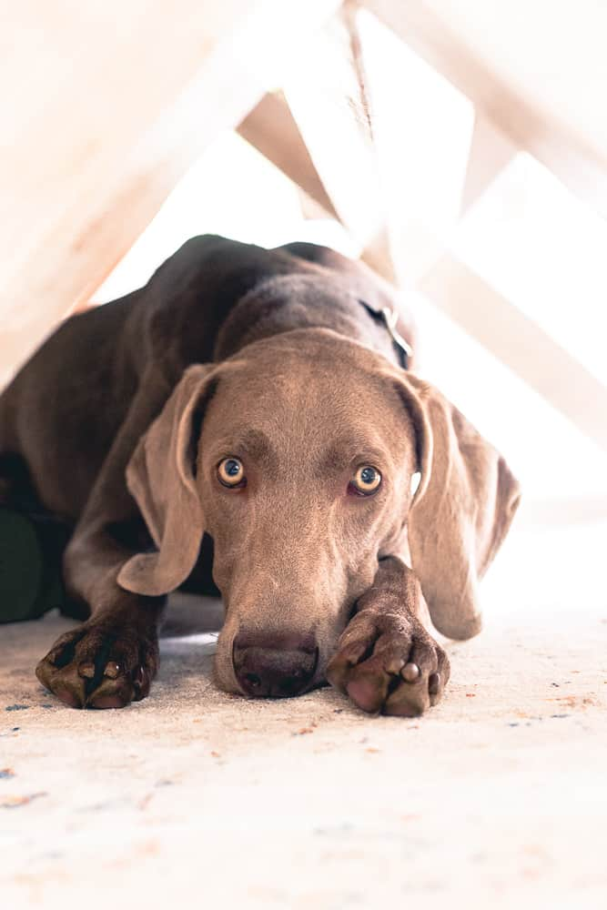 10 month old Weimaraner puppy wishing for table scraps.