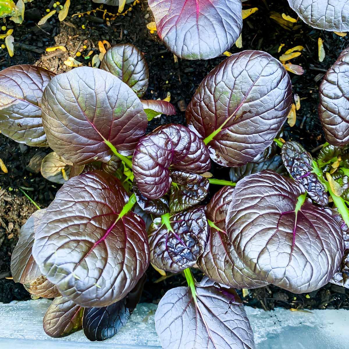 Purple tatsoi plant growing in a garden.